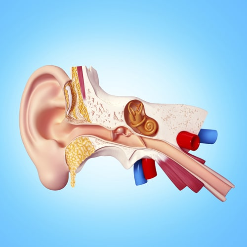 Illustration of inner ear