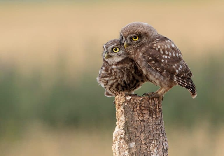 A parent owl and a baby owl sitting on a stump